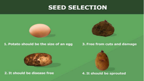 Potato seed selection